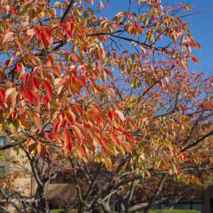 紅葉の桜と青空