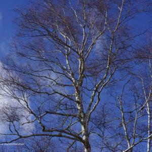 青い空と白い雲と白樺と