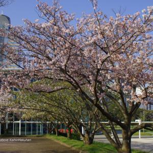 キャンパスのソメイヨシノ