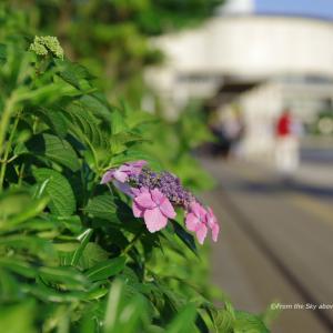 イオンモールの紫陽花