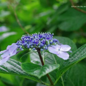 雨と紫陽花 ~青紫色~