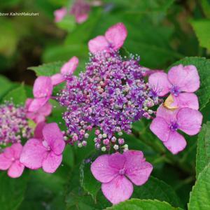 雨と紫陽花 ~赤紫色~