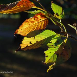 秋の陽と桜の葉