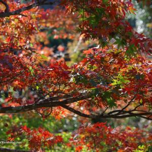 イロハモミジの紅色