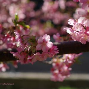 透過光の河津桜