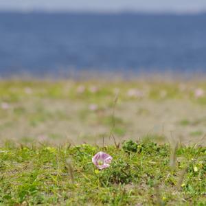 浜辺のハマヒルガオ
