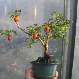 今年、叩きそびれたローヤ柿