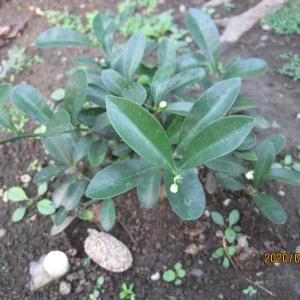 鉢ごと地植えしたキンズは長く花が咲く