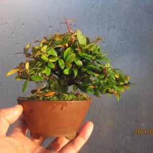 ピラカン07番の葉刈りと簡単経緯