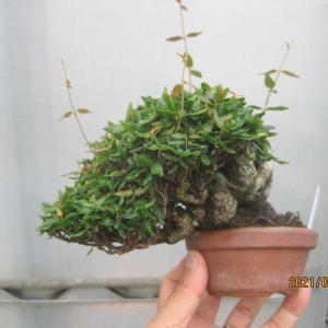 チリメンカズラ04番の蔓を切り戻し、大きい葉は間引く