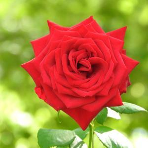 バラのとげは見ずに花だけを見る