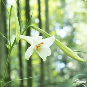 竹林に咲く君