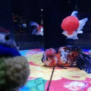 東京金魚ワンダーランド2019 (・・? すみだ水族館で開催中