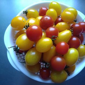 未だに収穫できるミニトマトを見ながら思う事
