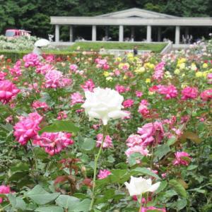 神代植物公園 6月初めのバラとイングリッシュローズ品種チェック