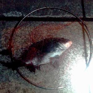 夜釣りでチヌゲット!