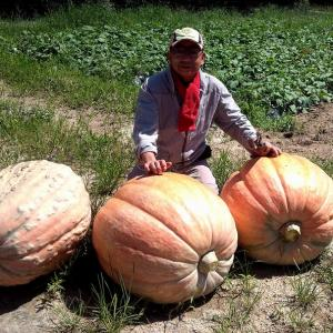 ジャンボかぼちゃで、ジャンボ猪を…。