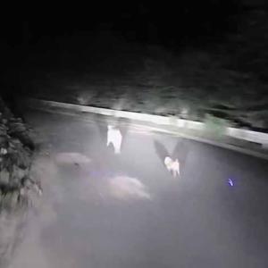奥山ダム周回道路で、イノシシ親子と遭遇