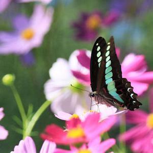 コスモスと蝶たち
