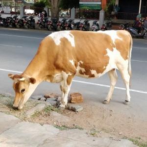牛も歩きにくいインドの道