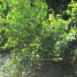 台風の被害、レモンの木が・・・
