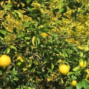 レモンと銀杏