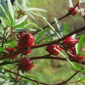 ローゼルの赤い実