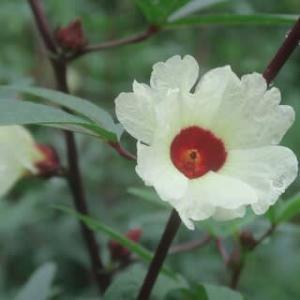 ローゼルの花、母の誕生日
