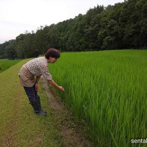 滋賀県比良山系の棚田米