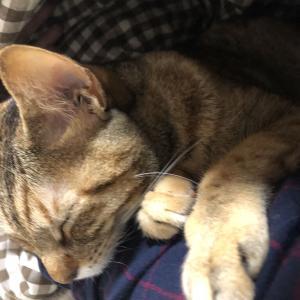 ■腕枕で眠る猫■