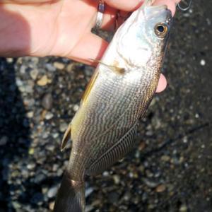 海から届く釣果の情報も徐々に秋らしくなってきました