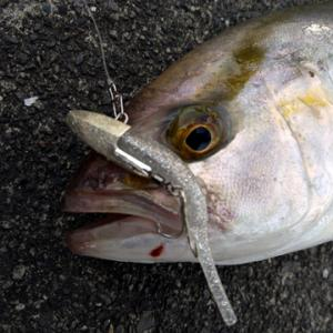 ショゴサイズながらカンパチの複数釣果が焼津港内で