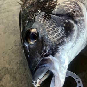 近所の川でクロダイをルアーで釣るならこの釣り方で