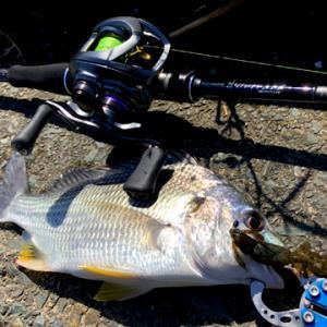クロダイもキビレもルアーで簡単に確実に釣る人