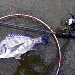 ちゃんとクロダイも釣ってきてくれましたよ
