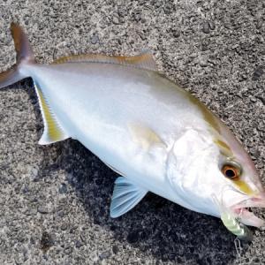 パチ専ダート釣法でパチが釣れました