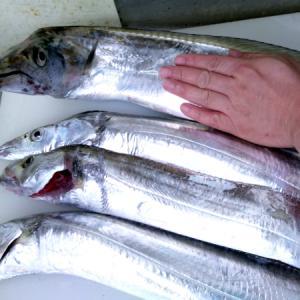 オススメしたルアーで大きなタチウオが釣れて良かった