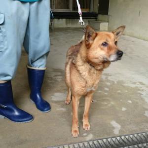 埼玉より里親急募★保健所ガリガリの犬