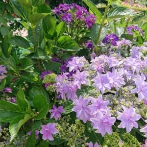 赤塚植物園の「アジサイガーデン」〜今年オープンしたばかりのアナベルが見事なアジサイガーデン✨