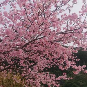 尾鷲神社と種まき権兵衛の里で河津桜のお花見に行って来た🌸🍶✨