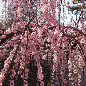 「結城神社の垂れ梅」〜これまでに見た最高の梅の名所🌺