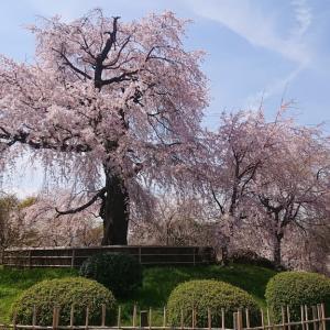 2年ぶりに京都にお花見に行って来た(前半篇)🌸🍶✨円山公園の垂れ桜と美味しいお豆腐専門店蓮月茶やでのランチ✨