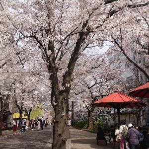 京都にお花見(中半篇)〜祇園白川の満開の桜🌸