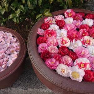 京都にお花見(後半篇)〜哲学の道の桜と椿寺で有名な「霊巌寺」へ🌺
