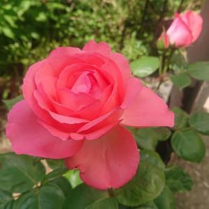 2年目のガーデニング生活・初夏の花たち🌺