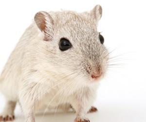 中国軍医、雄マウスに妊娠出産の実験を実施 「怖すぎる」と非難轟々