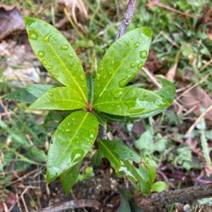 「枯れたと思った」植物の復活!シャクナゲの枯れ木から新芽が吹き出しました!