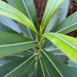 木になる木。育つ育つ夾竹桃(キョウチクトウ)の木!順調に生長中