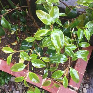 椿(ツバキ)の語源:  強葉木、艶葉木、厚葉木、光葉木、照葉木、輝葉木、寿葉木 etc