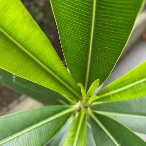 緑色の芸術!春から初夏の夾竹桃、今年も元気元気!